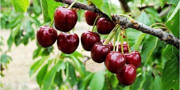 پیشبینی افزایش محصولات باغی در همدان