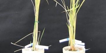 دستکاری دی ان ای گیاهان برای بهبود باردهی