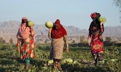 کشاورزان مینابی تامین کننده سفره کشور در 50 روز از سال