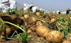 کاشت آزمایشی سیبزمینی در منطقه سرکویر دامغان