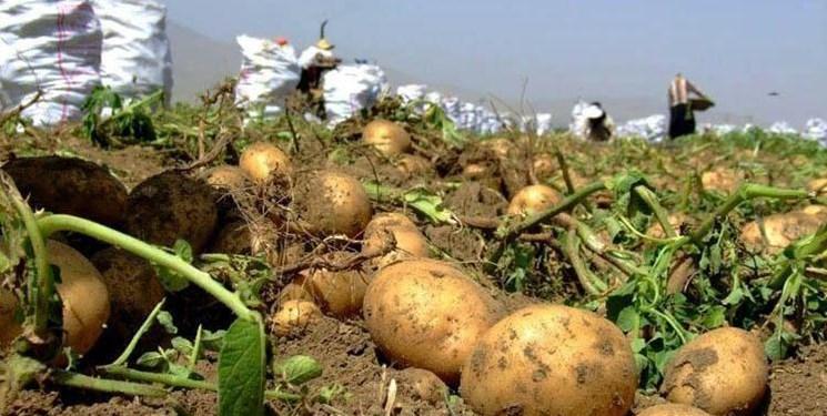 صادرات سیب زمینی همدان به کشورهای همسایه/ ذخیره ۵۰۰ هزار تن در انبارها