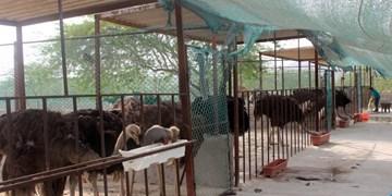 پرورشدهندگان  شترمرغ در پیچ و خم تامین نهاده