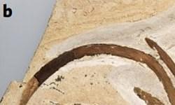 کشف فسیل یک زنبق 115 میلیون ساله+عکس