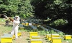ساماندهی 17 هزار کندو زنبور عسل در 130 نقطه از جنگلهای نمدار گالیکش