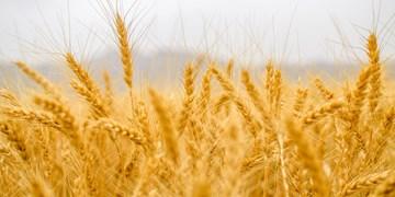 معرفی 4 رقم گندم جدید در موسسه تحقیقات کشاورزی دیم کشور