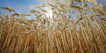 دستیابی به رکورد جدید تولید هسته های اولیه بذر محصولات دیم در کشور