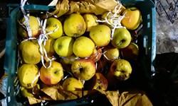 اگر روحانی نبود| فاسد شدن 35 هزار تن سیب محصول بیتدبیری دولت