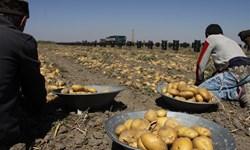 هشدار اتاق بازرگانی؛ فعلا سیب زمینی صادر نکنید که زیان میکنید!