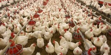تخلف بیش از ۴ میلیاردی یک واحد مرغداری متخلف در قرچک