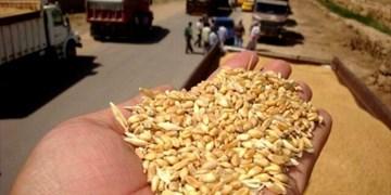 خرید گندم در قزوین ۱۱ درصد رشد یافت/ تحقق ۸۰ درصد از تعهد استان قزوین در زمینه خرید تضمینی گندم