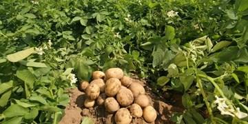 «خامفروشی سیبزمینی » همدان در نبود «صنایع تبدیلی»/ پس کی قرار است ارزآوری شود؟!