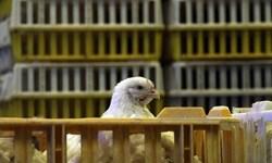 کشف 860 قطعه مرغ گوشتی قاچاق در سرخه