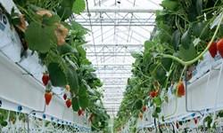تولید بیش از 500تن محصولات گلخانهای در شهرستان نمین
