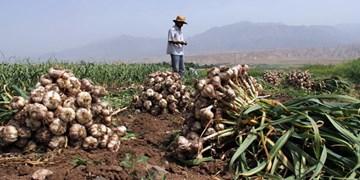 تولید سالانه 14 هزار و 398 تن سیر خشک در آذربایجانشرقی/  فرآوری 50 درصد سیرهای تولیدی استان