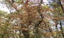 تراژدی دیگری در جنگلهای شمال/ بیماری سوختگی زغالی در کمین