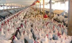 تلف شدن ۳۰۰۰ مرغ در آتش سوزی مرغداری در روستای «نصیرآباد» مشگین شهر