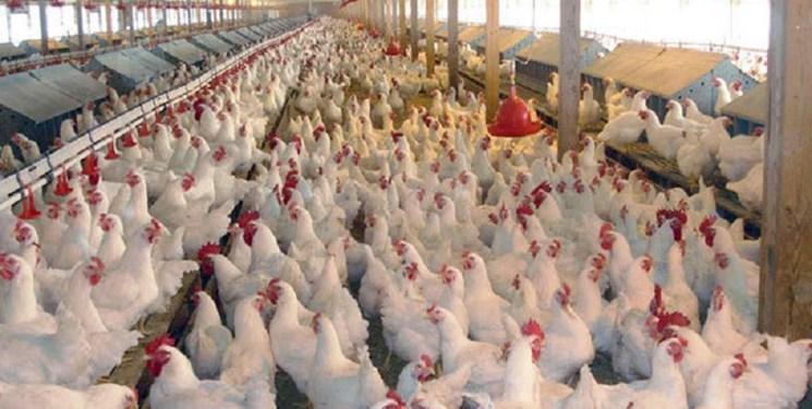 توزیع نهادههای موردنیاز مرغداریهای گوشتی به صورت سیستمی
