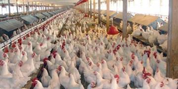 تمدید بدهی واحدهای پرورش مرغ گوشتی آسیب دیده از کرونا