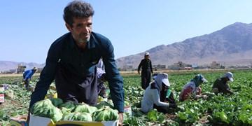 برداشت کاهو از مزارع چهارمحال و بختیاری