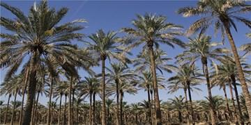 آبیاری نوین نخیلات در استان بوشهر افزایش مییابد