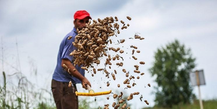 ۱۱ هزار تن بادام در گیلان برداشت میشود