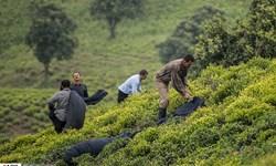 کرونا صادرات چای هند را 27 درصد کاهش داد/ایران باید به فکر بازار جدید باشد؟
