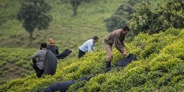 افزایش تسهیلات بهزراعی باغات چای در کشور