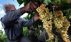 برداشت ۱۵۰ تن برنج و 4 هزار تن انگور از مزارع و باغات شهرستان ایوان