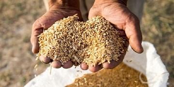 افزایش زیاد قیمت گندم در بازارهای جهانی