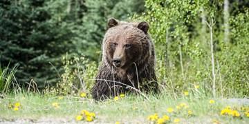 مجروحیت ۲ نفر از اهالی بخش سوسن در پی حمله خرس