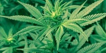 کشف و معدوم سازی 800 بوته ماریجوانا در مازندران/ دستگیری دو مظنون