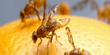 کنترل آفت مگس مدیترانه در باغهای مازندران