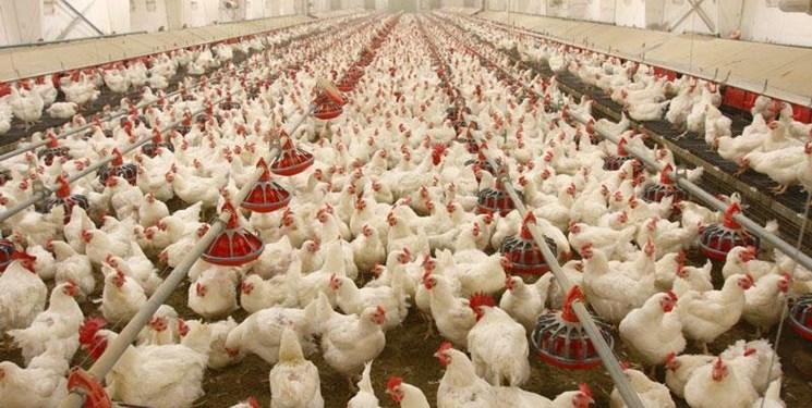 افزایش 30 درصدی هزینههای تولید مرغ