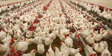 تولید 102 هزار تن مرغ در آذربایجانغربی