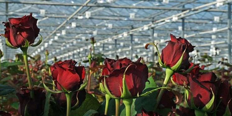 احداث تخصصیترین گلخانه تولید گل رز با ظرفیت صادراتی در شهرستان نمین