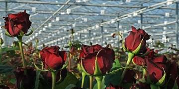 تولید 22 میلیون شاخه گل رز و 59 هزار تن سبزی و صیفی در گلخانه های آذربایجان شرقی
