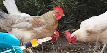اجرای فاز دوم واکسیناسیون علیه بیماری نیوکاسل در قروه