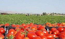 ماندن گوجهفرنگی بر روی دست کشاورز، نتیجه  خلاءآمایش صادراتی است