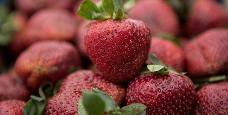 سالانه بیش از ۹۰۰ تن توتفرنگی گلخانهای در گیلان تولید میشود