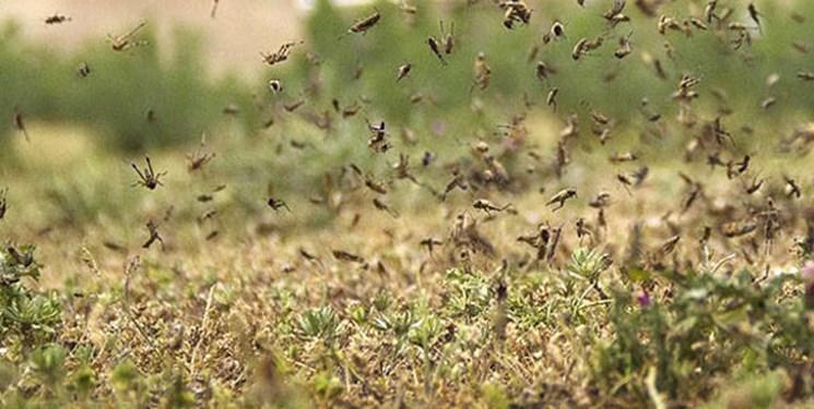 ملخ ها غذای 13 میلیون نفر را تهدید می کنند