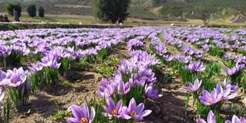 ۶ هکتار از اراضی کشاورزی«بدره» به کشت زعفران اختصاص یافت