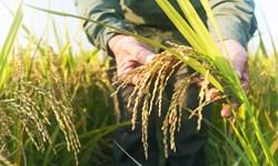 برداشت برنج در 66 هزار هکتار از مزارع کشت مجدد و رتون مازندران