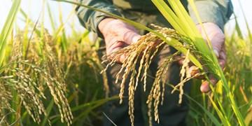 برداشت برنج در 213 هزار هکتار از شالیزارهای مازندران/ 95 درصد مکانیزه برداشت شد