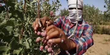 دستمزد کارگران فصلی چالش پیش روی طلای سبز در رفسنجان