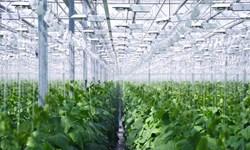 «بذر تقلبی» آفت این روزهای گلخانهها/ گلخانهداران سردرگم در بازار سیاه