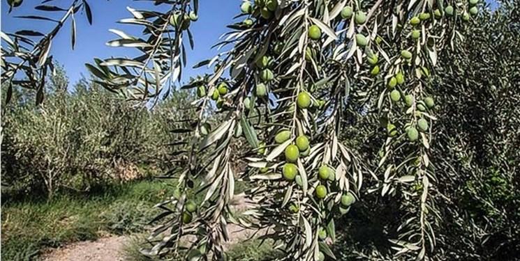 برداشت ۱۸ هزار تن زیتون از باغات قزوین/ خشکسالی تولید دومین قطب زیتون کشور را کاهش داد