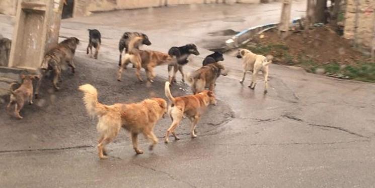قصه ناتمام سگهای ولگرد در رفسنجان/معضلی که بلای جان مردم شده است