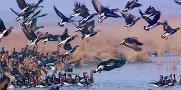 وجود آنفلوانزای پرندگان در تالاب سد میل و مغان/ هرگونه شکار ممنوع است