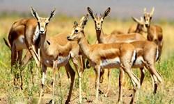 «دشت قراویز»، زیستگاه منحصر بفرد آهوی ایرانی/ 161 هزار هکتار از عرصههای طبیعی کرمانشاه جزء مناطق حفاظت شده هستند