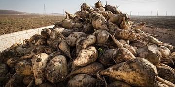کشت چغندرقند و شالی منجر به نابودی آبخوانهای گلستان میشود/ چغندر بالای ۲۰ هزار متر مکعب آب مصرف دارد